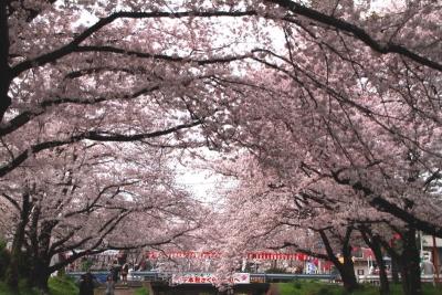 千本桜まつりa_1