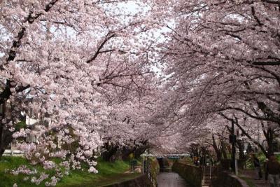 千本桜まつりb_1
