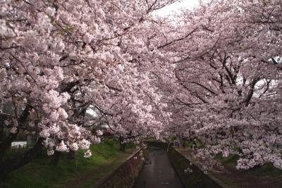 千本桜まつりc_1