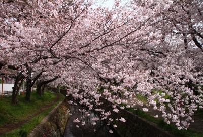 千本桜まつりd_1