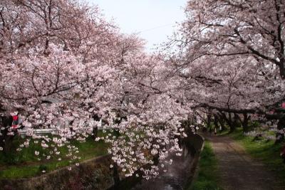 千本桜まつりe_1