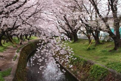 千本桜まつりf_1