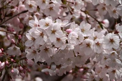 千本桜まつりg_1