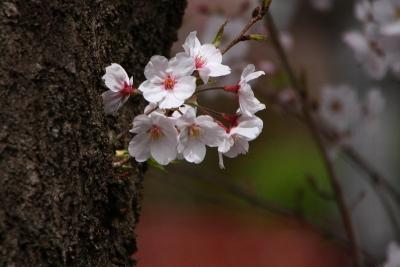 千本桜まつりh_1