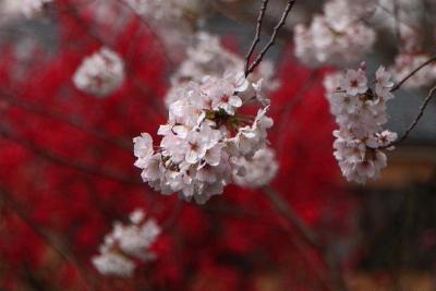千本桜まつりib_1