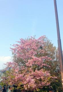 2017319桜