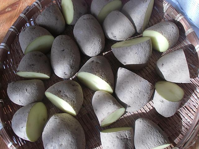 ホッカイコガネの種イモ