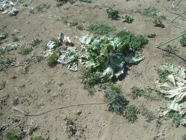 冬野菜の残骸