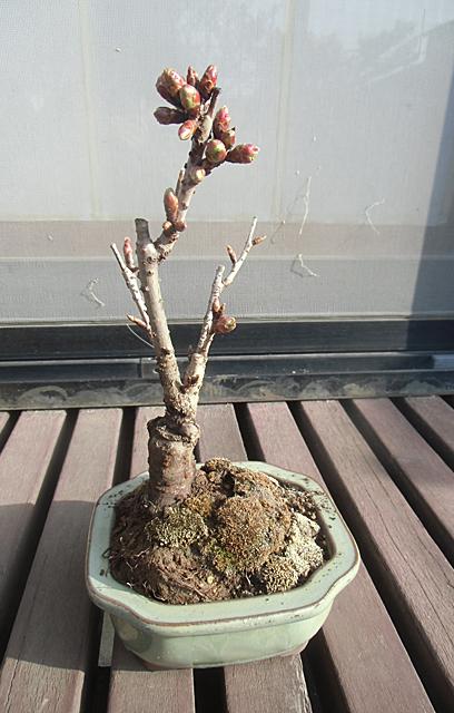 縁側に桜盆栽