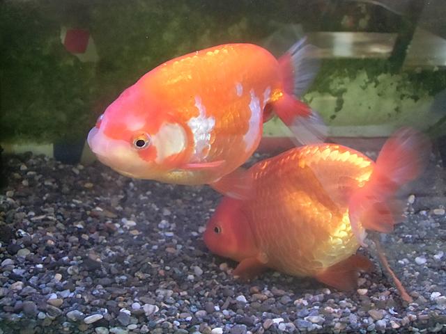 3月の金魚