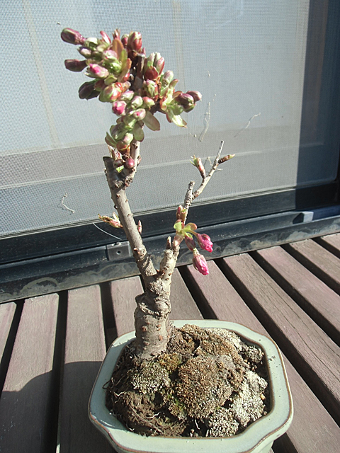 旭山の盆栽