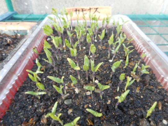 賀茂茄子の発芽 H2903