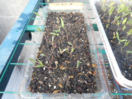 アロイトマトの発芽 H203