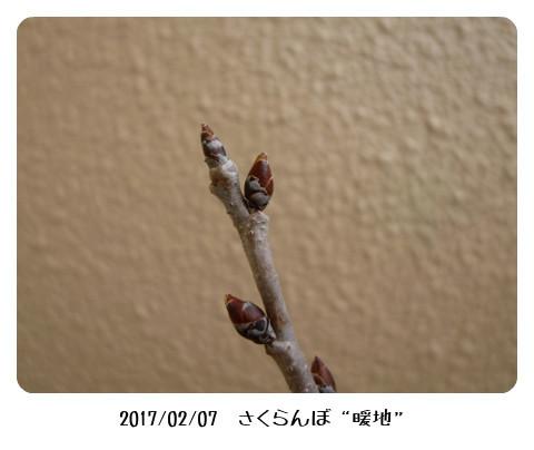sakuranbo20170207-3 (450x338)