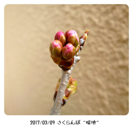 sakuranbo309-2 (450x400)
