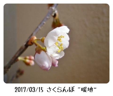 sakuranbo3151 (450x338)