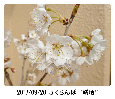 sakuranbo3202 (450x347)