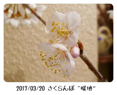 sakuranbo3203 (450x323)