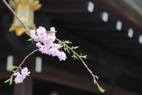 20170409sakura2.jpg