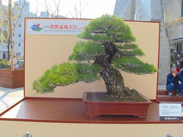 時価1億円の盆栽「雲竜」
