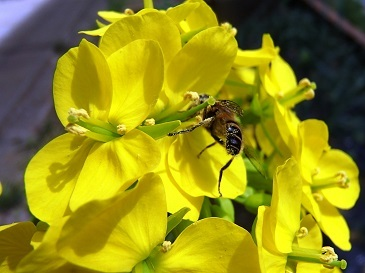 安藤早生とミツバチ4