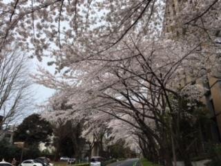 東大病院前の桜2