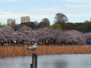 不忍池の桜2
