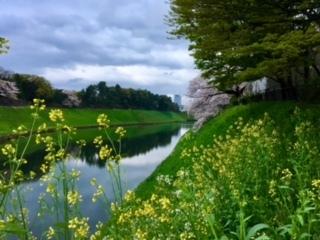 千鳥が淵菜の花2017