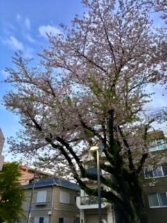 巣鴨図書館の桜