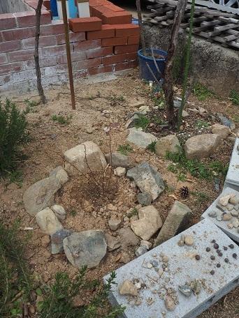 コデマリ地植え2