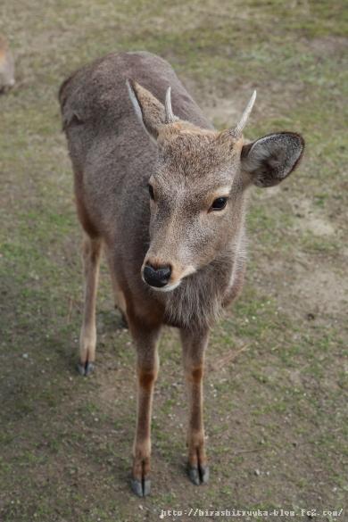 奈良公園の鹿-SN
