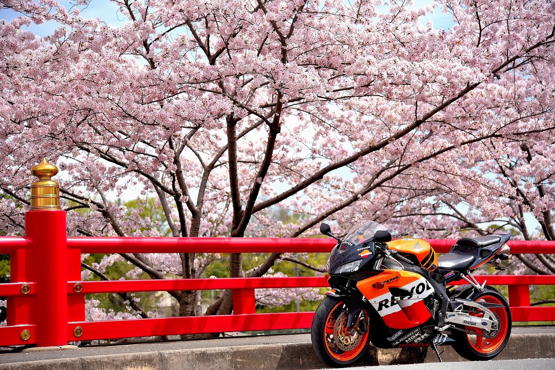 茨木弁天桜②