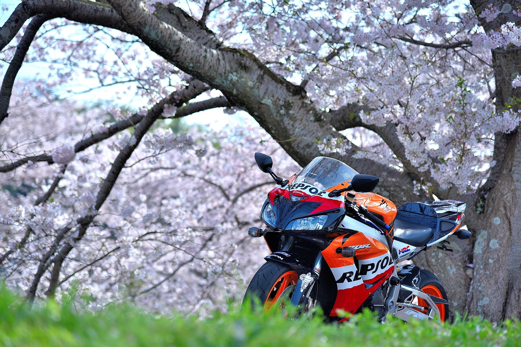 宇治田原桜①