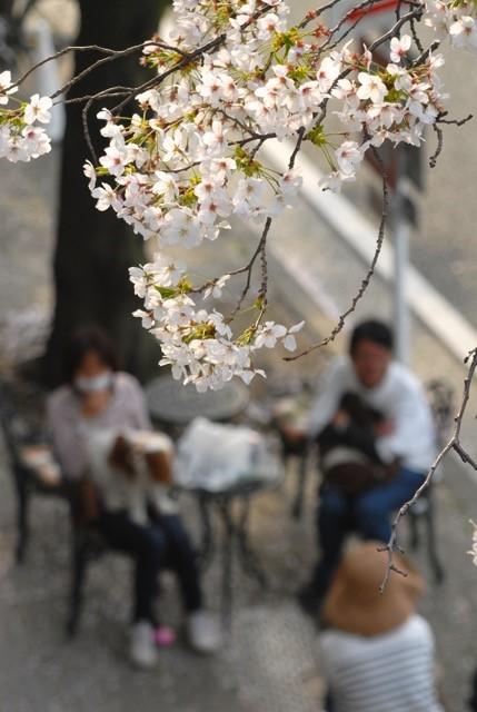 バルコニー桜3