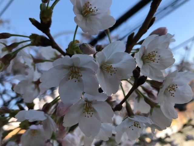 グルーミー桜 (1)