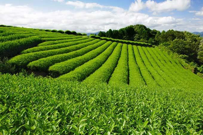 Gyokuro-green-tea-plantation-at-Nihondaira-Shizuoka-Japan.jpg
