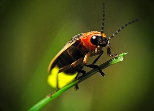 firefly-pics2.jpg