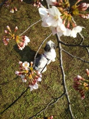 キャバマル 桜