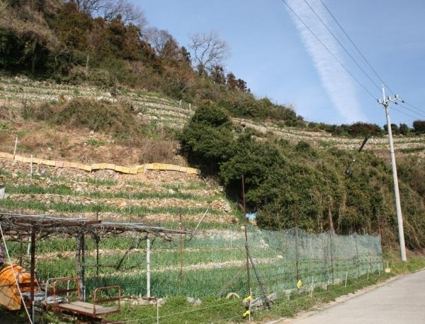IMG_7645 段々畑は玉ねぎ(600x458)