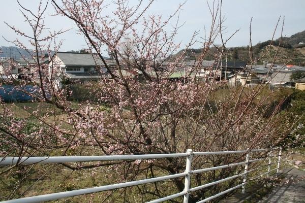 IMG_7797 桃の花?(600x400)