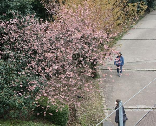 IMG_7948 桜が開花(600x486)