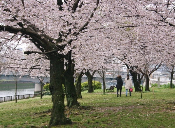 IMG_8205 桜(600x439)