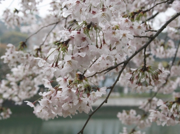 IMG_8213 桜の花(600x448)