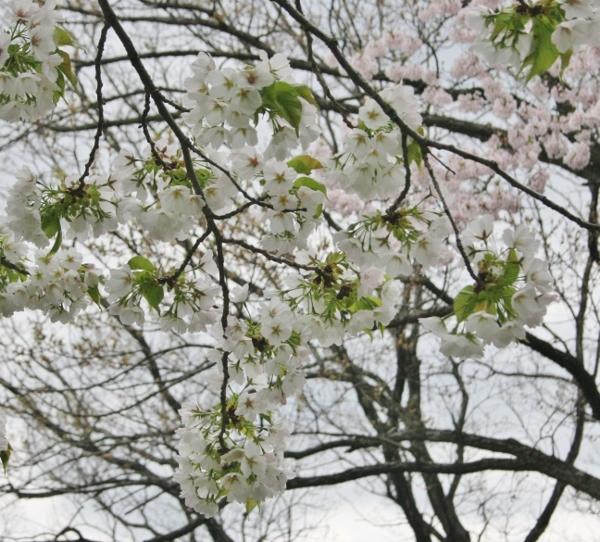 14 IMG_8260 白い花(600x542)