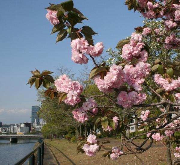 IMG_8548 八重桜(600x551)