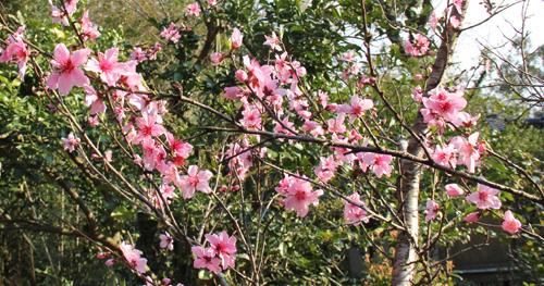 2017桃の花