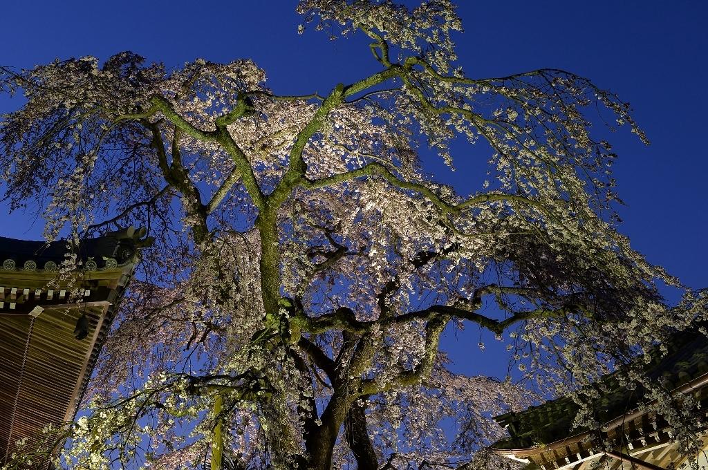 無量寺のしだれ桜