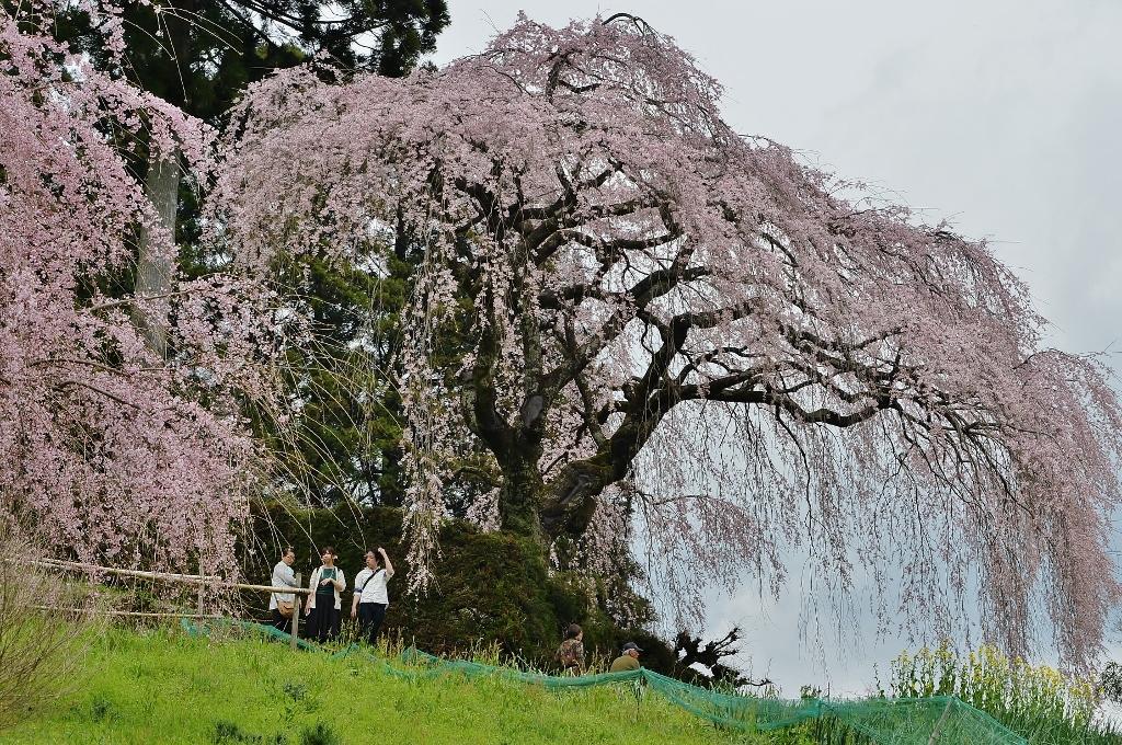 中越家のしだれ桜