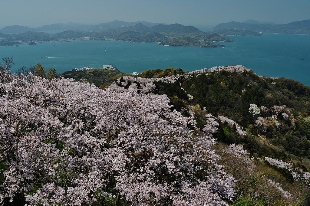 関前山の桜