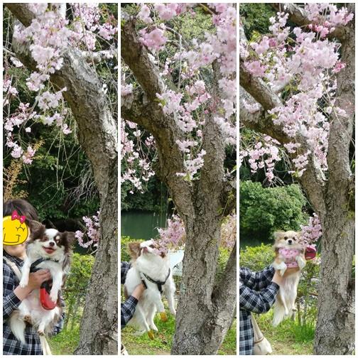 今年最後の桜かな
